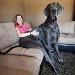 اكبر كلب في العالم في موسوعة غينيس - 44476