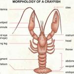 رسم تشريحي لجراد البحر