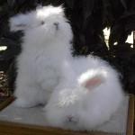 صغار ارنب الانجورا