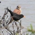 صور ومعلومات عن طائر الشحرور