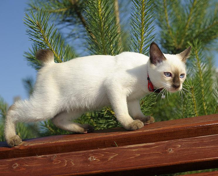 صور ومعلومات عن القط السيامي