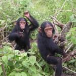 صور ومعلومات عن الشمبانزي