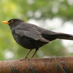 Common Blackbird - 45886