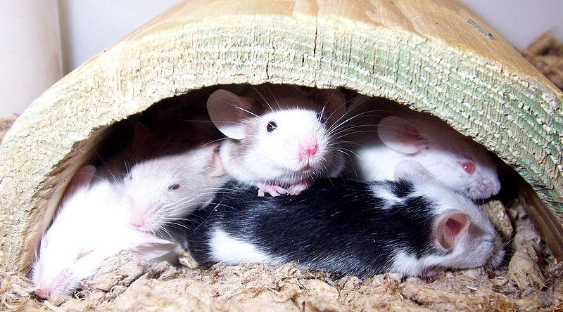 صور ومعلومات عن الفئران