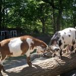 صور ومعلومات عن الماعز