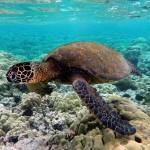 صور ومعلومات عن السلحفاة البحرية