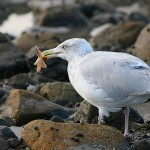 �������� ����� ������ ������� 800px-Seagull_eating