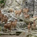صور ومعلومات عن الخراف البربرية