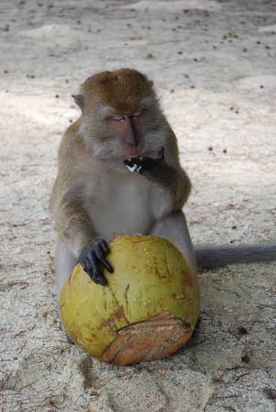 A-beach-monkey-enjoying-the-coconut-fruit.-Picture-was-captured-at-Beras-Basah-Island