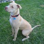 كلب بيتبول الامريكي - 43378