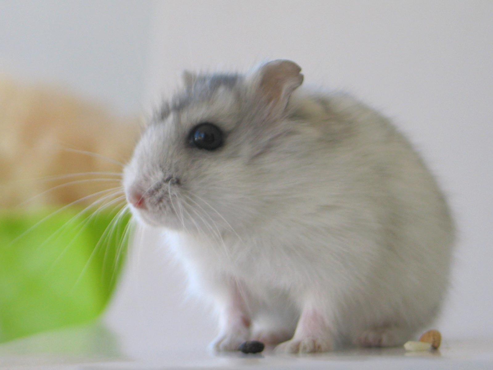 Mouse3 صور الفأر   Photo rat