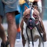 كلب بيتبول مكمم - 43381