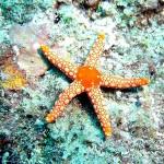 �������� ����� ������ ������� Starfish_Mauritius-1