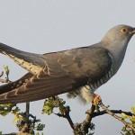 صور ومعلومات عن طائر الوقواق