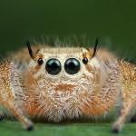 صور ومعلومات عن العنكبوت القافز