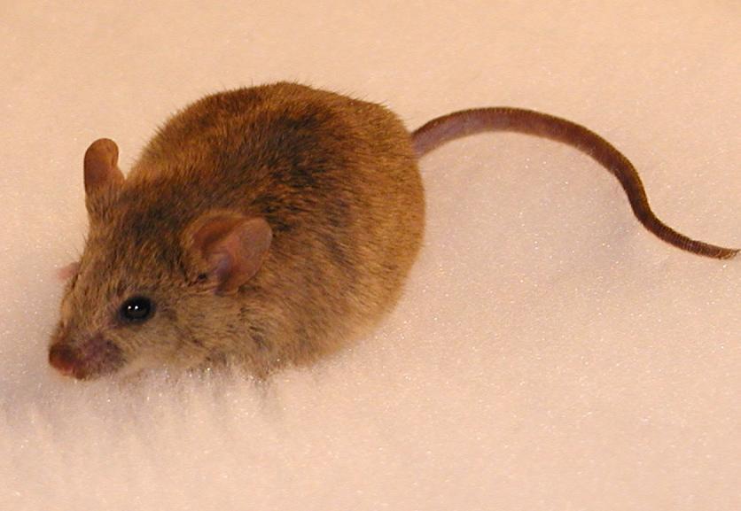 mouse2 صور الفأر   Photo rat
