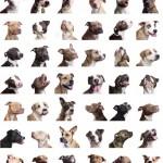 صور ومعلومات عن كلاب البيتبول