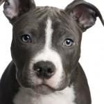 كلاب البيتبول لديهم رأس مميزة على شكل مربع  - 43386