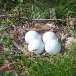 بيض الصقر الابيض