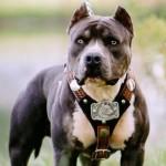 Pit bull - 43388