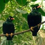 زوجين من طائر الزرزور