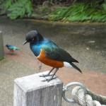 صور ومعلومات عن طائر زرزور