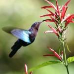 صور ومعلومات عن الطائر الطنان