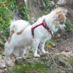 صور ومعلومات عن كلب شيواوا
