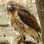 Red-tailed Hawk - 56422