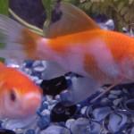 صور ومعلومات عن السمك الذهبي