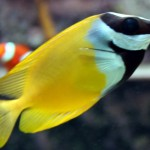 Rabbitfish - 69281