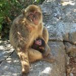 صور ومعلومات عن القرد البربري