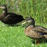 صور ومعلومات عن البط البري