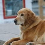 صور ومعلومات عن كلب المسترد الذهبي
