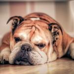 صور ومعلومات عن كلب بولدوغ