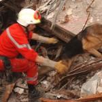 كلب الراعي الالماني يستخدم في  البحث والإنقاذ بالمناطق الحضرية