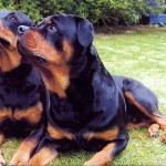 كلاب روت فايلر
