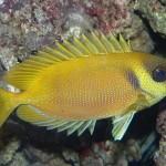 800px-Siganus_corallinus - 69278