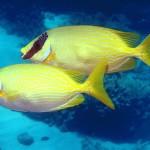 زوجين من سمكة الارنب - 69279