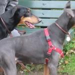كلب دوبرمان أسود وآخر أزرق
