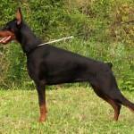 أنثى دوبرمان - 65434
