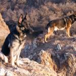 كلاب شيبرد الألمانية