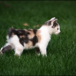 Manx-Cat-Portrait - 67142