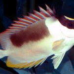 Rabbitfish - 69282