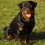 كلب الروت وايلر