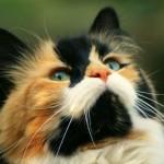 manx-cat-photos-3 - 67137