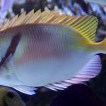 زعانف حوضية لأسماك الارنب - 69283