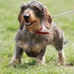 صور ومعلومات عن كلب داشهند