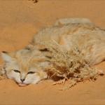 صور ومعلومات عن قط الرمال