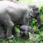 صور ومعلومات عن الفيل الاسيوي